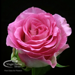 Malibu Bi Pink Rose Virgin Farms