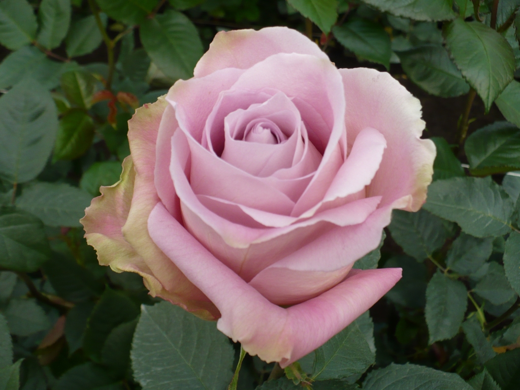 Pink Roses Archives - Virgin Farms