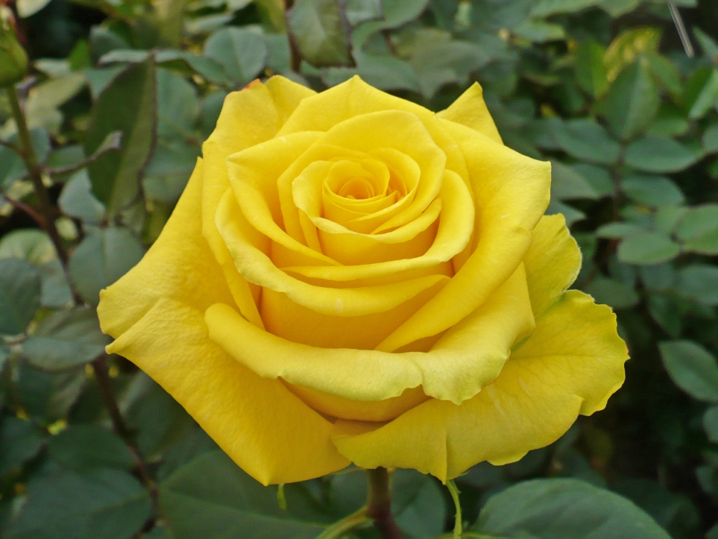 Yellow Roses Archives Virgin Farms