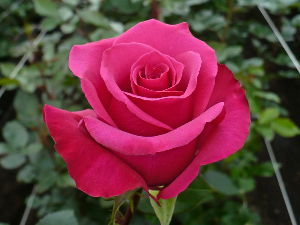 pink rose in - photo #26