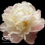 Gardenia Peony Virgin Farms