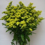 Morning Glory Solidago