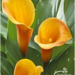 calla lily passionfruit
