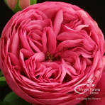 Pink Piano Garden Rose