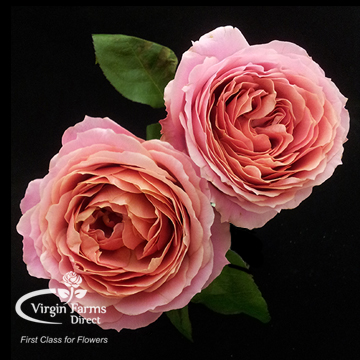 romantic antike garden rose - Garden Rose