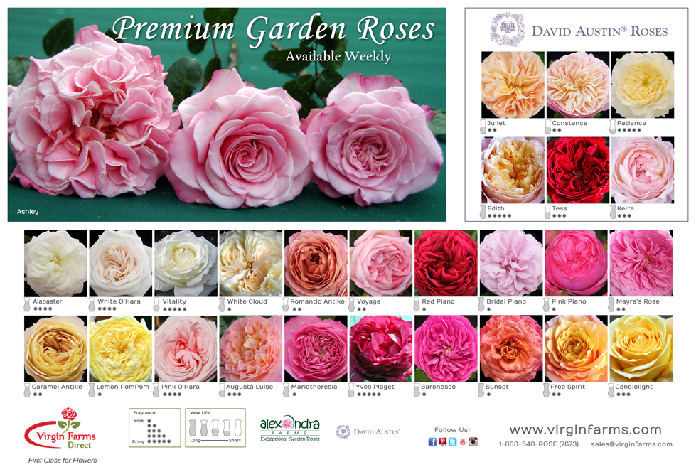 virgin farms garden rose poster - Garden Rose