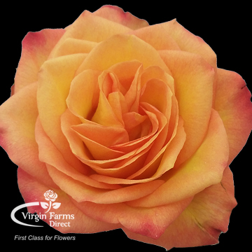 fiction garden rose