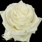 Playa Blanca White Rose