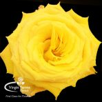 Spinelli Yellow Rose