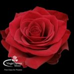 Scarlata red rose Virgin Farms