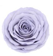 Timeless Rose Lavender