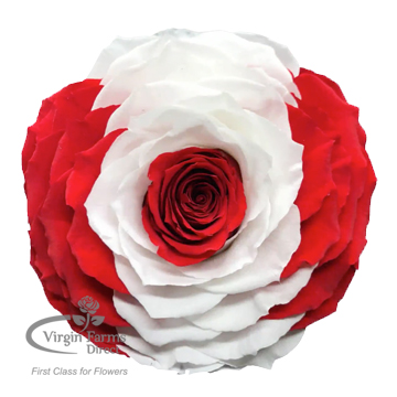 Canada Preserved Flag Rose