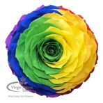 Rainbow Jumbo Preserved Rose