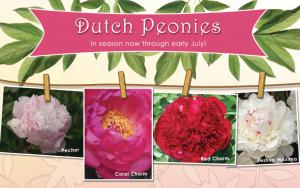 Dutch Peonies
