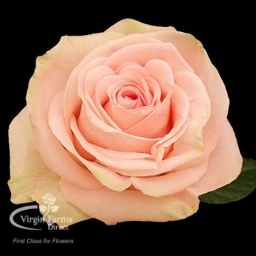 Tiffany rose Virgin Farms