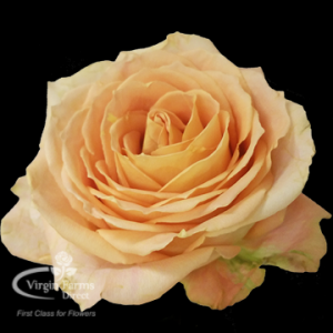 Shukrani Peach Rose