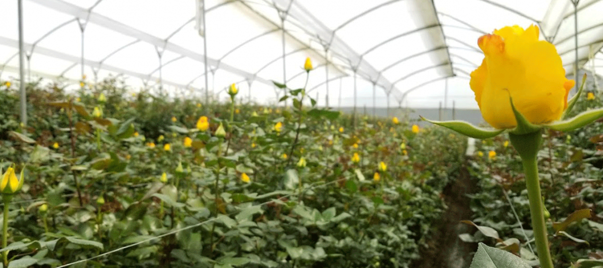 Yellow-Rose-Field