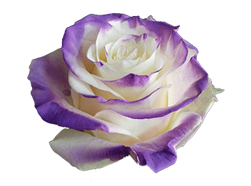 TInted-Spray-Tipped-Roses-Category