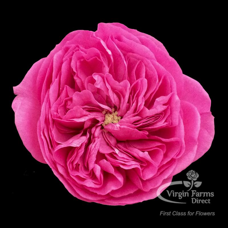 Roses In Garden: Baronesse Garden Rose - Virgin Farms