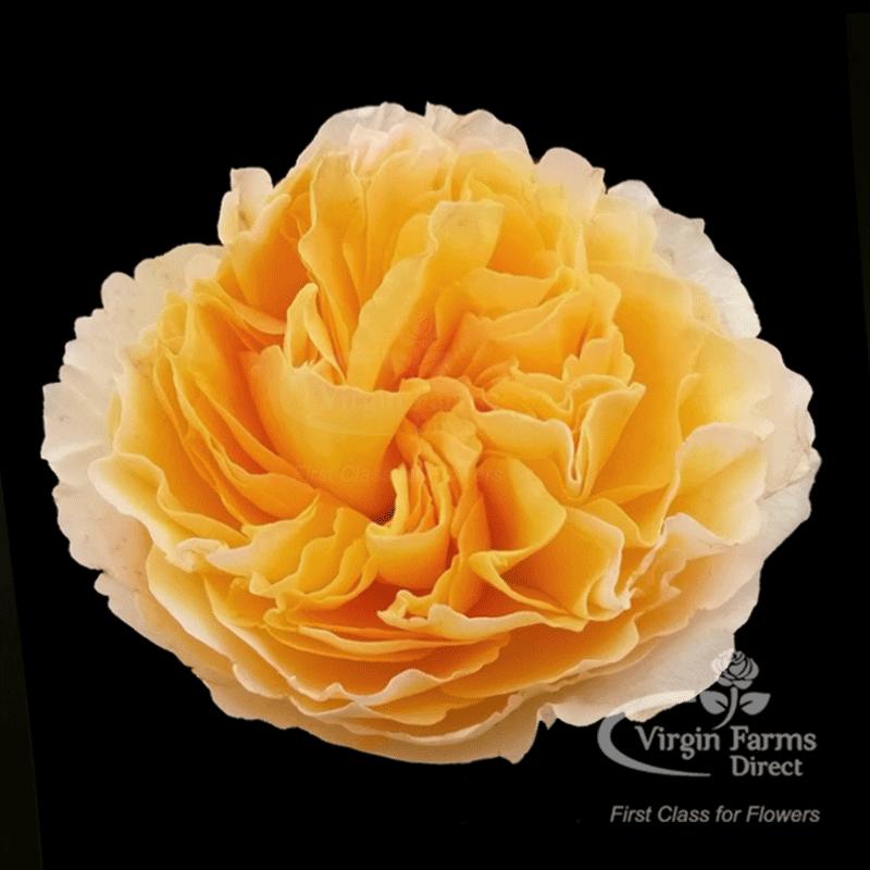 Roses In Garden: Beatrice Garden Rose - Virgin Farms