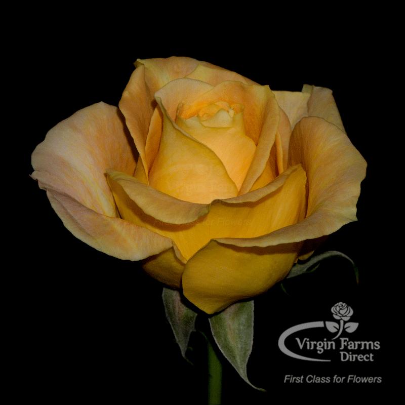 Roses In Garden: Candlelight Garden Rose - Virgin Farms