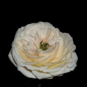 Charity David Austin Garden Rose