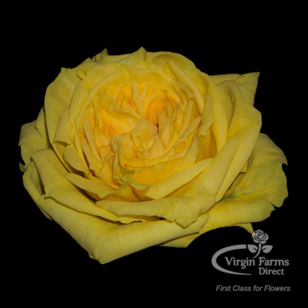 Lemon Pom Pom Garden Rose