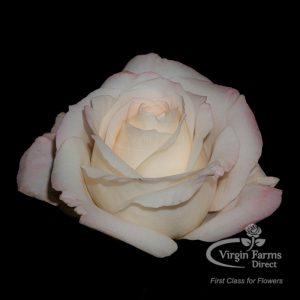 Mayra's Bridal Pink Garden Rose