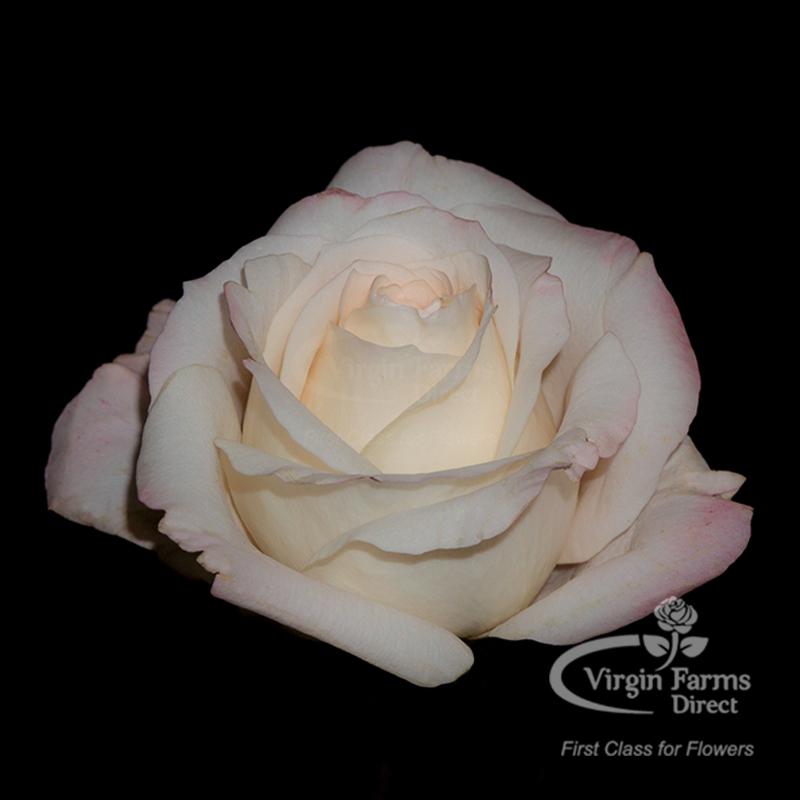 Roses In Garden: Mayra's Bridal Pink Garden Rose - Virgin Farms
