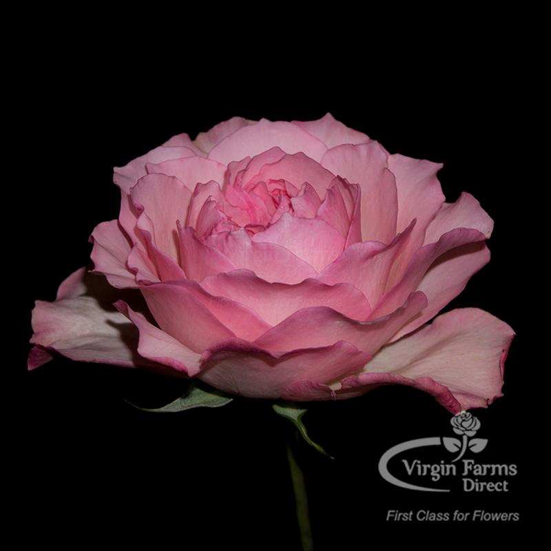 Roses In Garden: Mayra's Rose Garden Rose - Virgin Farms