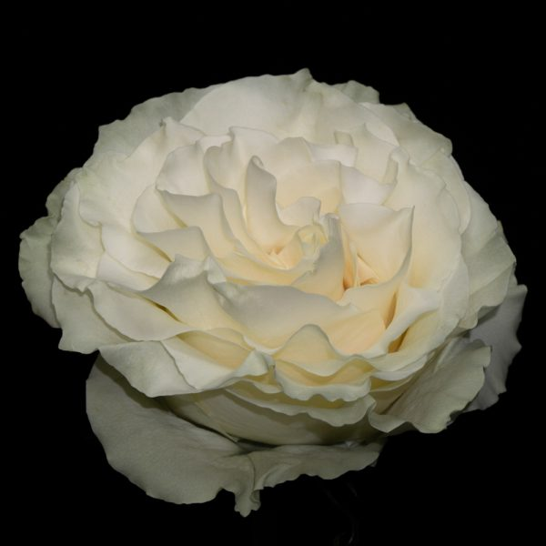 Mondial-White-Rose-Virgin-Farms