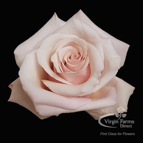 Mother of Pearl Rose Virgin Farms
