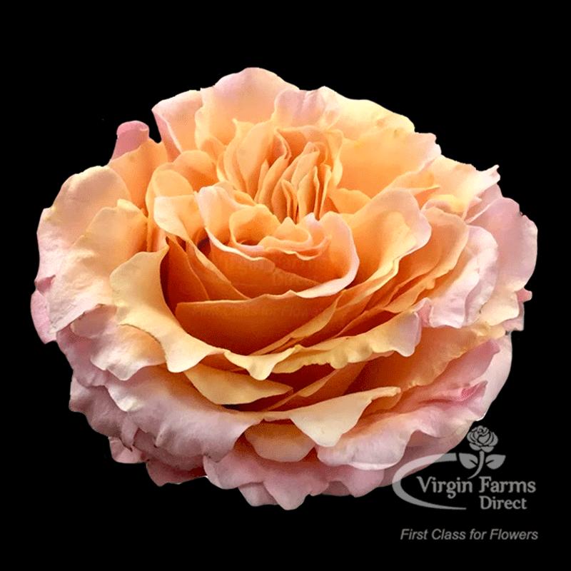 Roses In Garden: Peach Mayra Garden Rose