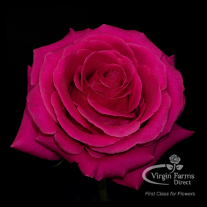 Pink Floyd Hot Pink Rose Virgin Farms