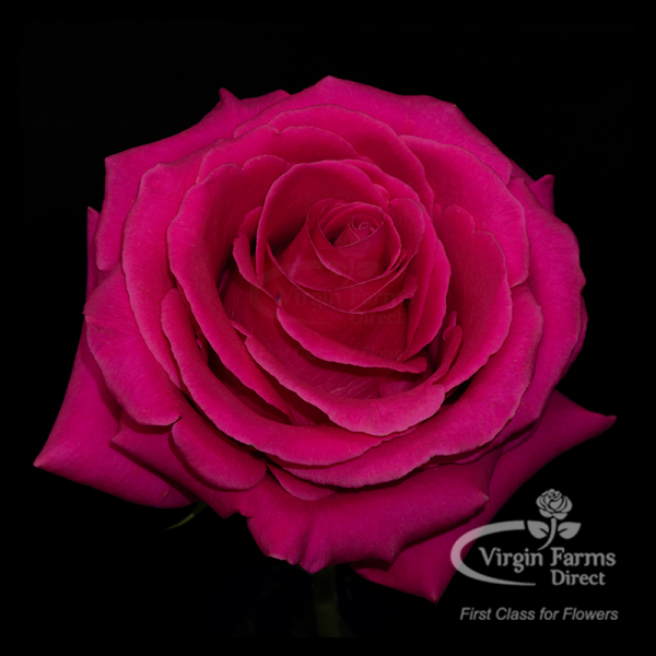 Pink Floyd Hot Pink Rose Virgin Farms