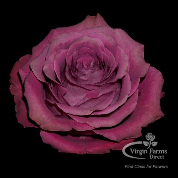 Precious Moments Garden Rose Virgin Farms
