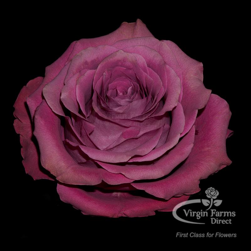 Roses In Garden: Precious Moments Garden Rose - Virgin Farms