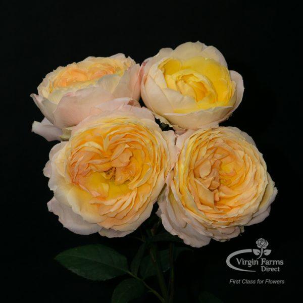 Princess Aiko garden rose