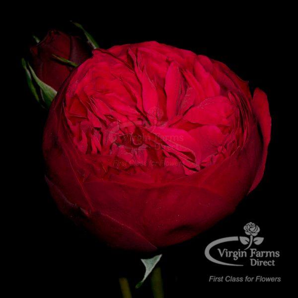 Red Piano Garden Rose Virgin Farms