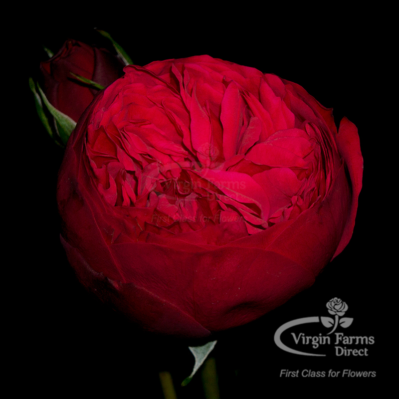 Roses In Garden: Red Piano Garden Rose - Virgin Farms
