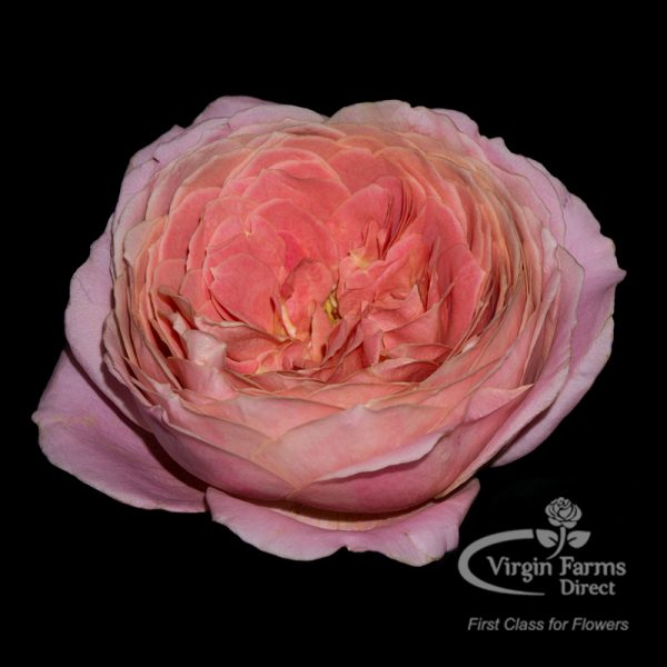 Romantic Antique Garden Rose Virgin Farms