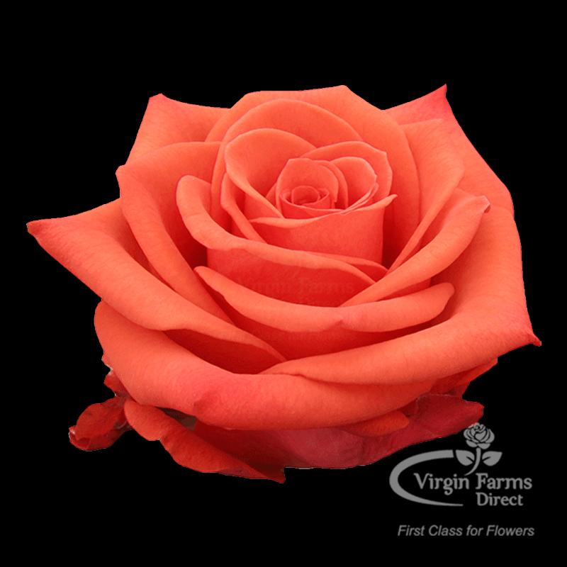 Купить ломбарде, цветы в харькове оптом роза сантана екатеринбург