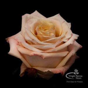 Shimmer Peach Rose Virgin Farms