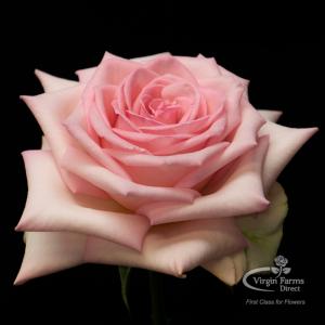 Sophie Pink Rose Virgin Farms