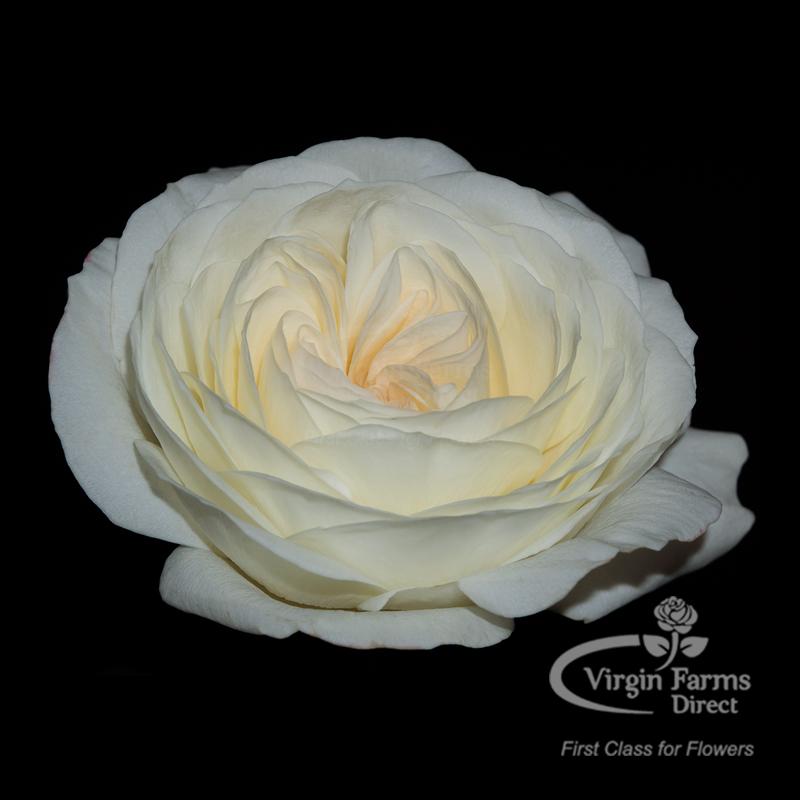 Roses In Garden: Ella David Austin Garden Rose - Virgin Farms