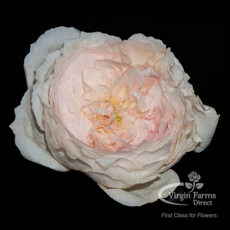 Roses In Garden: Misaki Garden Rose - Virgin Farms
