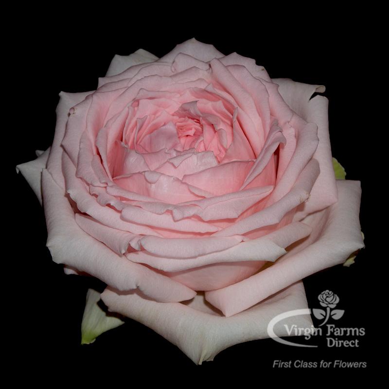 Roses In Garden: Princess Hitomi Garden Rose - Virgin Farms