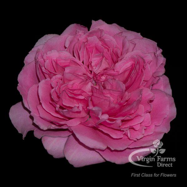 Princess Meiko Garden Rose Virgin Farms