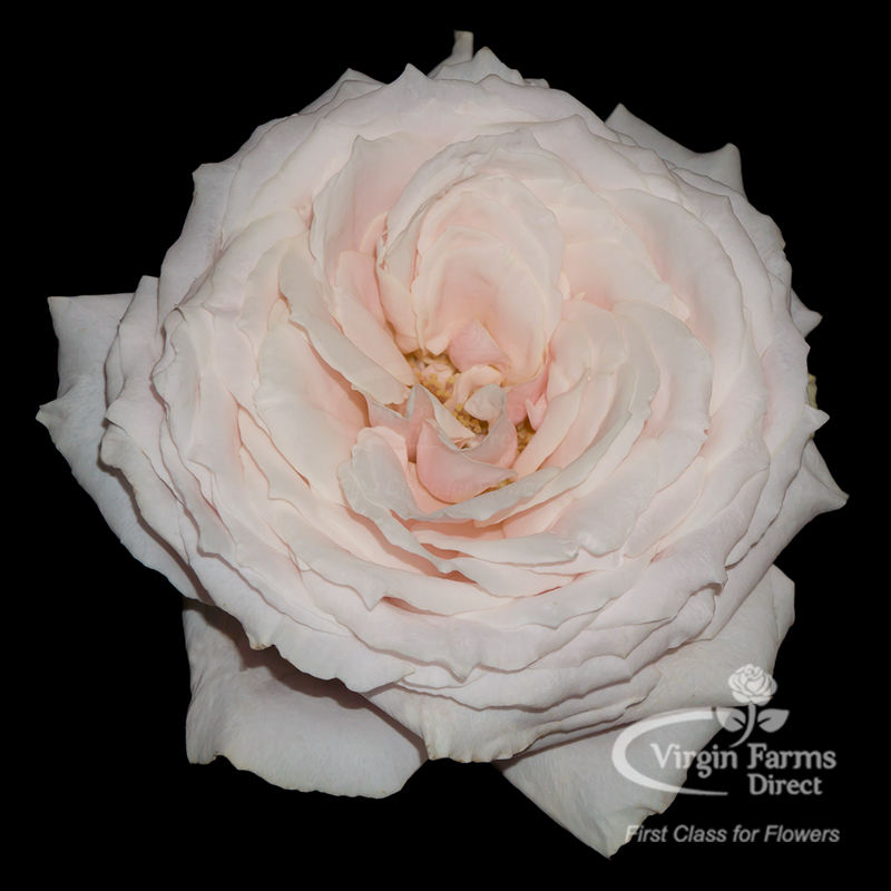 Roses In Garden: Tsumugi Garden Rose - Virgin Farms