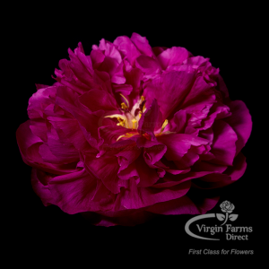 Peony-Red-Sarah-Virgin-Farms